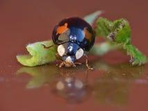 Sluit het Lieveheersbeestje omhoog Macrofotografie van het Harlekijnonzelieveheersbeestje stock afbeelding