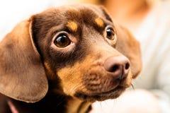 Sluit het omhoog gemengde portret van de rassenhond royalty-vrije stock fotografie