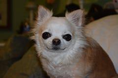 Sluit hond van portret omhoog de langharige chihuahua Stock Foto