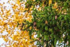Sluit mening van groene tak van pijnboomboom met bruine kegels op geel doorbladert omhoog achtergrond stock foto