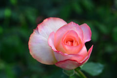 Sluit mooie roze steeg bloem Royalty-vrije Stock Foto