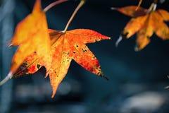 Sluit nadruk op het sterven oranje esdoornblad met donkere ruimte royalty-vrije stock foto