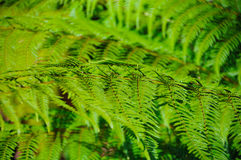 Sluit nadruk van groene varenbladeren in regenwoud tonen geweven met selectieve nadruk en gestemde kleur en donkere achtergrond Royalty-vrije Stock Afbeelding
