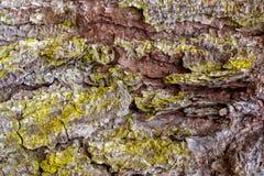 Sluit omhoog Achtergrond van de Schors en het Mos van de Pijnboomboom stock afbeeldingen