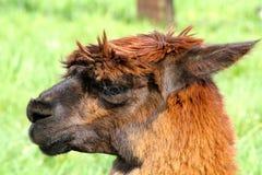 Sluit omhoog alpaca Stock Afbeelding