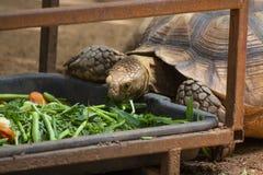 Sluit omhoog Aziatische reus en Sulcata-schildpadgreep het gras en fru stock foto