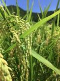 Sluit omhoog beeld van een één of ander rijstoor in het Nakatosa-gebied, Japan royalty-vrije stock foto's