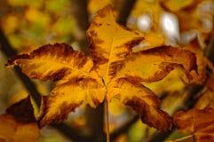 Sluit omhoog beeld van een herfstesdoornblad royalty-vrije stock fotografie