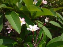 Sluit omhoog beeld van een overweldigende mooie Plumeria-bloemen royalty-vrije stock afbeeldingen