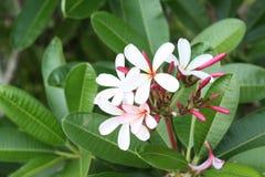 Sluit omhoog beeld van een overweldigende mooie Plumeria-bloemen stock fotografie