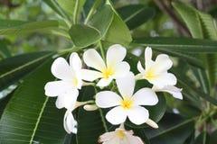 Sluit omhoog beeld van een overweldigende mooie Plumeria-bloemen royalty-vrije stock foto's
