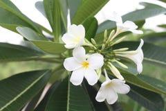 Sluit omhoog beeld van een overweldigende mooie Plumeria-bloemen stock foto
