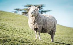 Sluit omhoog beeld van een schaap op een landbouwbedrijf stock foto's