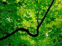Sluit omhoog beeld van groene Japanse esdoornbladeren bij tempel Ryoan -ryoan-ji in Kyoto stock fotografie