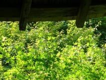 Sluit omhoog beeld van groene Japanse esdoornbladeren bij tempel Ryoan -ryoan-ji in Kyoto royalty-vrije stock foto's