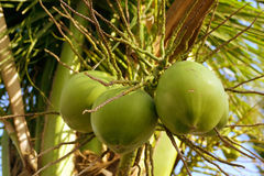 De vruchten van Coco Royalty-vrije Stock Foto's