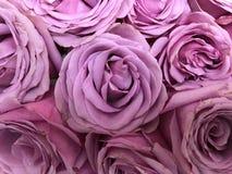 Sluit omhoog Beeld van Mooie, Roze Rozen in Bloei Royalty-vrije Stock Foto