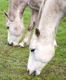 Sluit omhoog beeld van paarden die op gras weiden Royalty-vrije Stock Afbeeldingen