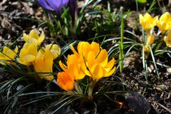 Sluit omhoog beeld van zonnige Gele Krokus royalty-vrije stock fotografie
