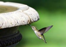 Sluit omhoog bij één Anna Kolibrie het drinken van waterdruppeltjes van een vogelbad stock afbeeldingen