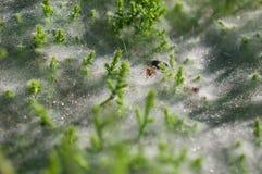 Sluit omhoog bij spin op spinnewebben op het gras met dauwdalingen - selectieve nadruk, waterdalingen op Web in bos Stock Afbeeldingen