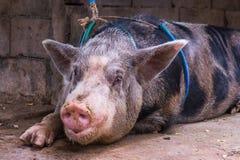 Sluit omhoog binnenlands groot varken in een landbouwbedrijf Stock Foto