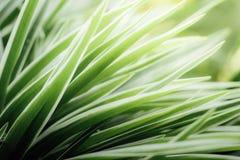 Sluit omhoog bladeren van chlorophytum royalty-vrije stock afbeeldingen