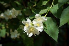 sluit omhoog bloeiende jasmijnbloem op struik in tuin, geselecteerde nadruk royalty-vrije stock afbeeldingen
