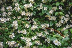sluit omhoog bloeiende jasmijnbloem op struik in tuin, geselecteerde nadruk stock foto's