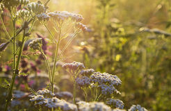Sluit omhoog bloemen in het licht van de ochtendzon royalty-vrije stock fotografie