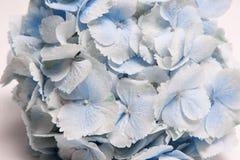 Sluit omhoog bloemenachtergrond van lichtblauwe hydrangea hortensia stock afbeelding