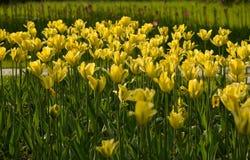 Sluit omhoog bloemenachtergrond Verbazende mening van kleurrijke gele tulp die in de tuin en het groene graslandschap bloeien bij stock afbeeldingen