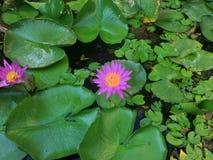 Sluit omhoog breuk de geschotene mooie rode lotusbloembloesem bloei bij centrum groene bladeren op waterspiegel in meer met blauw stock foto's