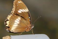 sluit omhoog bruine vlinder royalty-vrije stock afbeeldingen