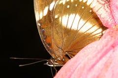sluit omhoog bruine vlinder stock foto's