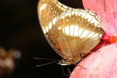 sluit omhoog bruine vlinder stock fotografie