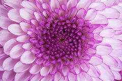 Sluit omhoog - centrum van violette bloem Royalty-vrije Stock Foto's