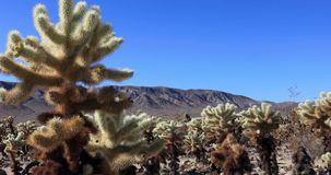Sluit omhoog, Cholla-Cactustuin, Joshua Tree National Park, schuifschot stock video