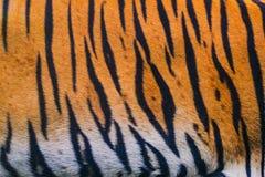 Sluit omhoog de achtergrond van de tijgerhuid royalty-vrije stock fotografie
