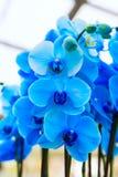 Sluit omhoog de blauwe achtergrond van orchideebloemen stock fotografie