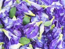 Sluit omhoog de blauwe bloemen van de vlindererwt stock foto