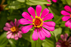 Sluit omhoog de bloem of violacea Cav van Zinnia van Zinnia in de tuin Royalty-vrije Stock Afbeeldingen
