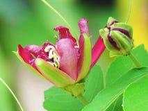 Sluit omhoog de bloemen van de DameMargaret hartstocht of bloo van de Passiebloembloem stock foto
