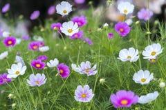 Sluit omhoog de bloemen van kosmosbipinnatus glanzen in de bloemtuin Stock Fotografie
