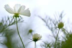 Sluit omhoog de bloemen van kosmosbipinnatus glanzen in de bloemtuin Royalty-vrije Stock Fotografie