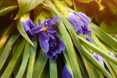 Sluit omhoog de donkerblauwe bloesem van de Irisbloem Boeket van de concepten het gevoelige vakantie van irisviooltje Stock Fotografie