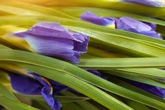 Sluit omhoog de donkerblauwe bloesem van de Irisbloem Boeket van de concepten het gevoelige vakantie van irisviooltje Royalty-vrije Stock Afbeelding
