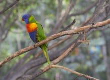Sluit omhoog de exotische kleurrijke rode blauwgroene regenboog van papegaaiagapornis Stock Afbeeldingen