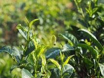 Sluit omhoog de groene bladeren van de theeboom in landbouwgrond Stock Foto's
