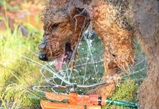 Sluit omhoog de grote harige fontein van het hond drinkwater Royalty-vrije Stock Foto's